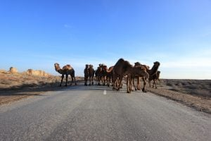 Camel traffic jam seen on our Turkmenistan tours