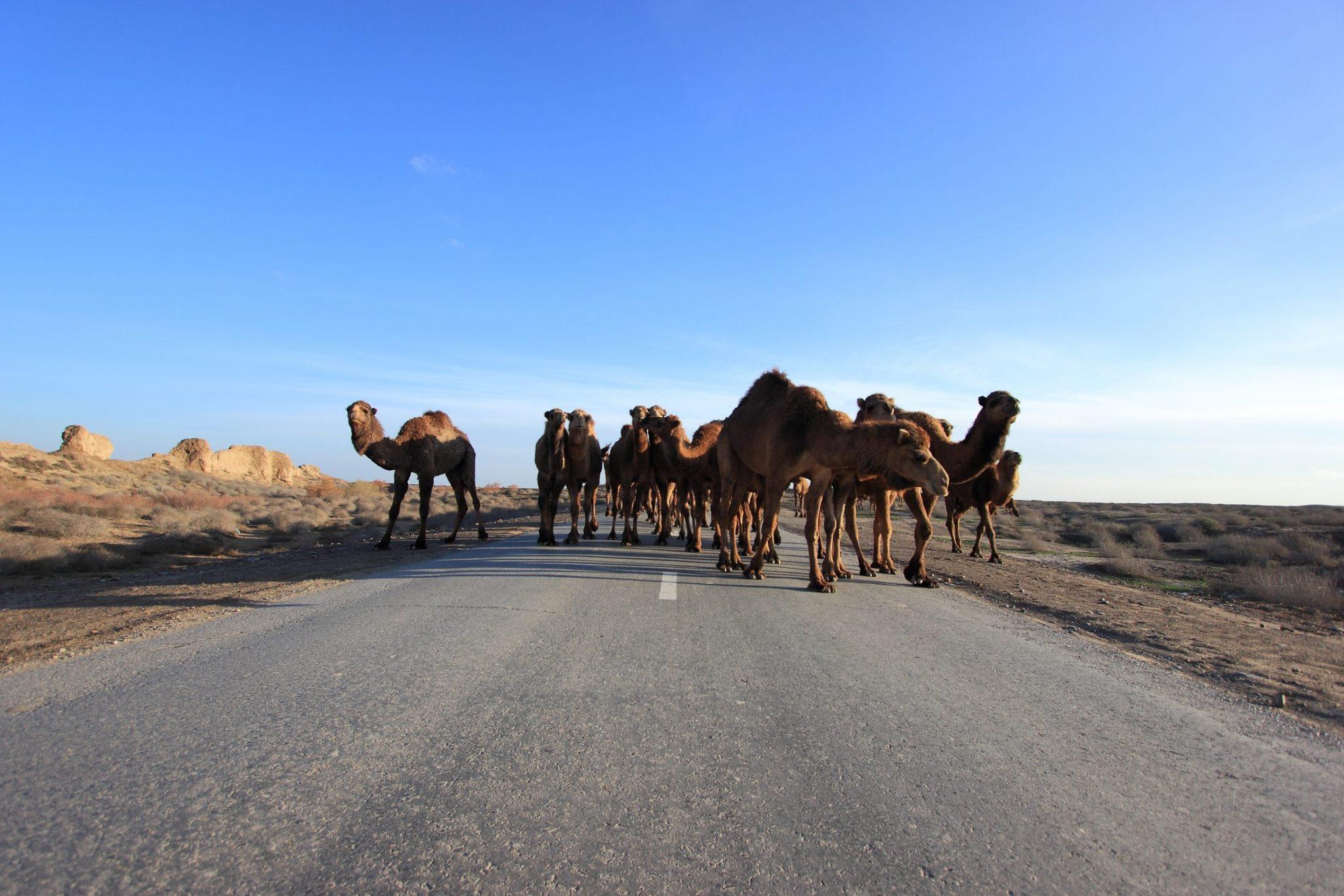 Camel traffic jam in Turkmenistan